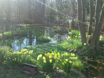 Daffodils by a Wisconsin pond
