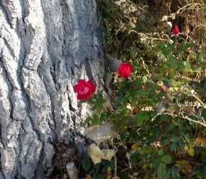 Surprise rose blossoms near cottonwood trees