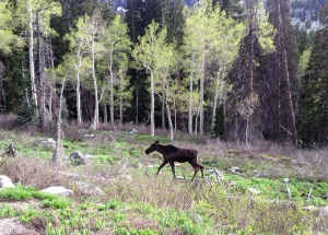 Solitude moose calf, May, 2014